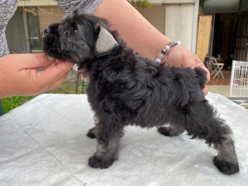 ミニチュアシュナウザーの子犬(ID:1277211066)の3枚目の写真/更新日:2021-04-04