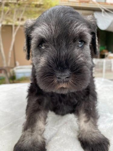 ミニチュアシュナウザーの子犬(ID:1277211067)の1枚目の写真/更新日:2021-04-04