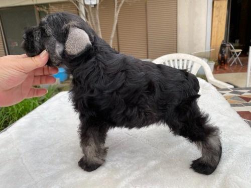 ミニチュアシュナウザーの子犬(ID:1277211067)の2枚目の写真/更新日:2021-04-04