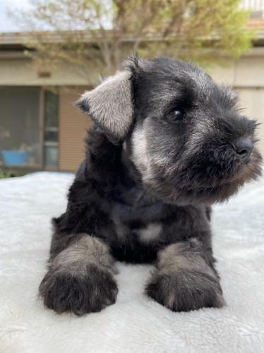 ミニチュアシュナウザーの子犬(ID:1277211068)の1枚目の写真/更新日:2021-04-04