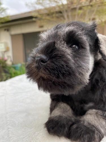 ミニチュアシュナウザーの子犬(ID:1277211068)の2枚目の写真/更新日:2021-04-04