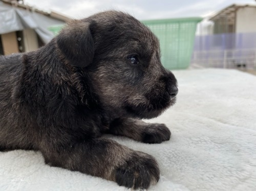 ミニチュアシュナウザーの子犬(ID:1277211074)の2枚目の写真/更新日:2021-04-04