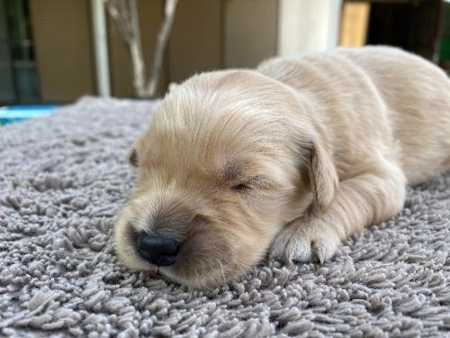 ゴールデンレトリバーの子犬(ID:1277211087)の2枚目の写真/更新日:2021-05-03