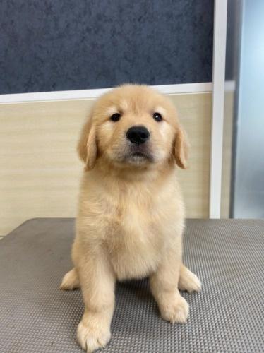 ゴールデンレトリバーの子犬(ID:1277211096)の1枚目の写真/更新日:2021-07-07