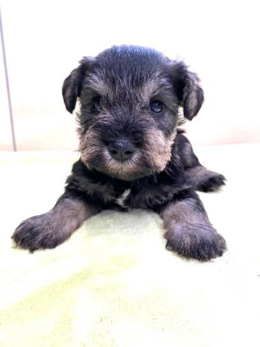 ミニチュアシュナウザーの子犬(ID:1277211098)の1枚目の写真/更新日:2021-08-17