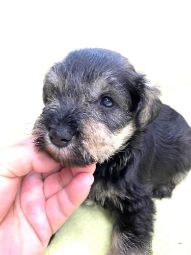 ミニチュアシュナウザーの子犬(ID:1277211098)の2枚目の写真/更新日:2021-08-17
