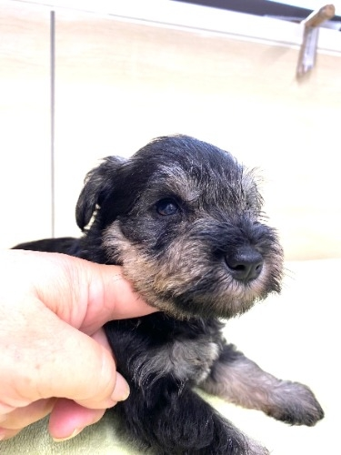 ミニチュアシュナウザーの子犬(ID:1277211098)の4枚目の写真/更新日:2021-08-17