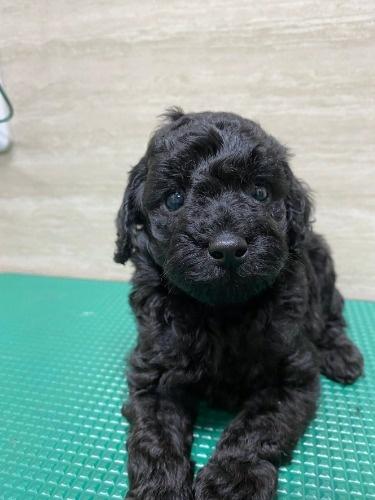トイプードルの子犬(ID:1277211099)の1枚目の写真/更新日:2021-08-20