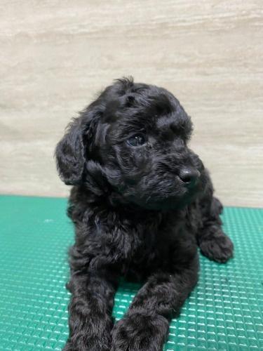 トイプードルの子犬(ID:1277211099)の2枚目の写真/更新日:2021-08-20