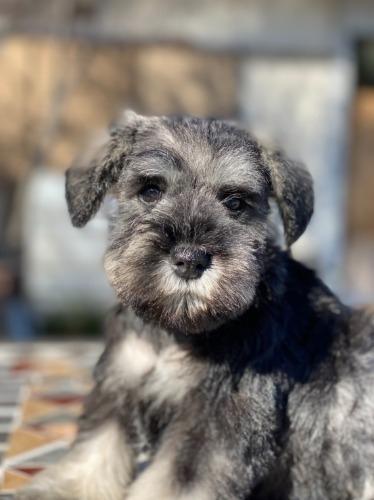 ミニチュアシュナウザーの子犬(ID:1277211100)の1枚目の写真/更新日:2021-10-24