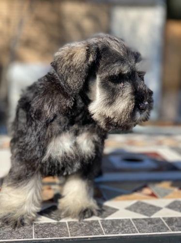 ミニチュアシュナウザーの子犬(ID:1277211100)の2枚目の写真/更新日:2021-10-24