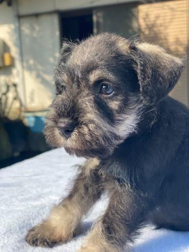 ミニチュアシュナウザーの子犬(ID:1277211101)の2枚目の写真/更新日:2021-10-24