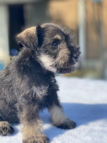 ミニチュアシュナウザーの子犬(ID:1277211101)の3枚目の写真/更新日:2021-10-24