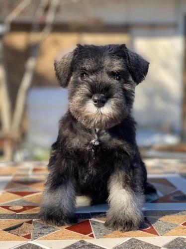 ミニチュアシュナウザーの子犬(ID:1277211103)の1枚目の写真/更新日:2021-10-24