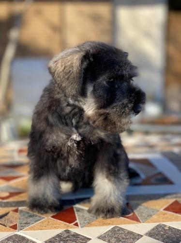ミニチュアシュナウザーの子犬(ID:1277211103)の2枚目の写真/更新日:2021-10-24