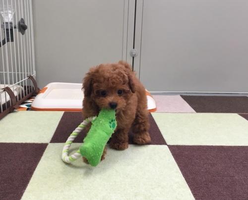 トイプードルの子犬(ID:1277311001)の1枚目の写真/更新日:2019-07-02