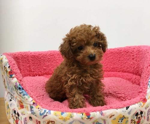 トイプードルの子犬(ID:1277311001)の2枚目の写真/更新日:2019-06-24