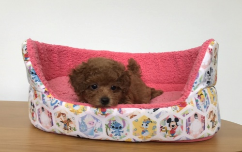 トイプードルの子犬(ID:1277311001)の3枚目の写真/更新日:2019-06-24