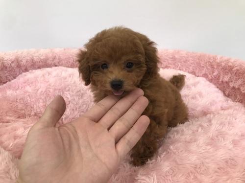 トイプードルの子犬(ID:1277311001)の5枚目の写真/更新日:2019-06-24