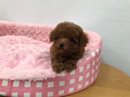トイプードルの子犬(ID:1277311005)の1枚目の写真/更新日:2021-05-01