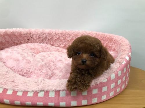 トイプードルの子犬(ID:1277311005)の2枚目の写真/更新日:2021-05-01