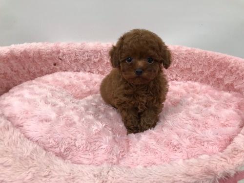 トイプードルの子犬(ID:1277311005)の4枚目の写真/更新日:2021-05-01