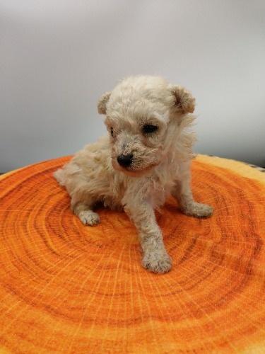 トイプードルの子犬(ID:1277511008)の2枚目の写真/更新日:2020-10-06