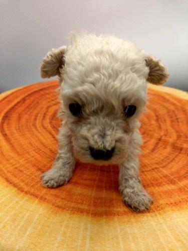 トイプードルの子犬(ID:1277511008)の3枚目の写真/更新日:2020-10-06