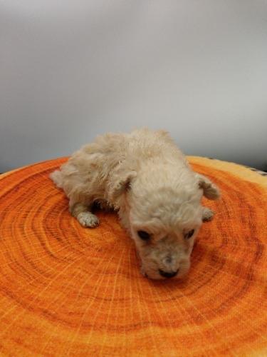 トイプードルの子犬(ID:1277511008)の4枚目の写真/更新日:2020-10-06