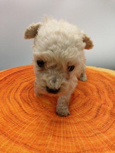 トイプードルの子犬(ID:1277511008)の5枚目の写真/更新日:2020-10-06
