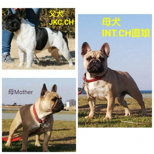 フレンチブルドッグの子犬(ID:1277711002)の5枚目の写真/更新日:2019-07-17