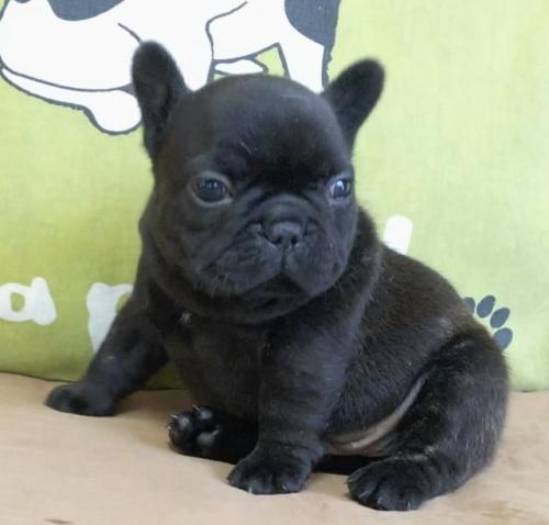 フレンチブルドッグの子犬(ID:1277711003)の1枚目の写真/更新日:2020-05-29