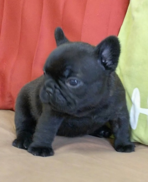 フレンチブルドッグの子犬(ID:1277711003)の2枚目の写真/更新日:2019-07-17