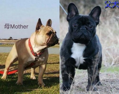 フレンチブルドッグの子犬(ID:1277711003)の4枚目の写真/更新日:2020-05-25