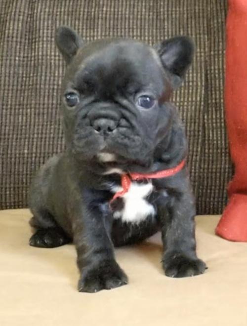 フレンチブルドッグの子犬(ID:1277711004)の2枚目の写真/更新日:2020-05-29