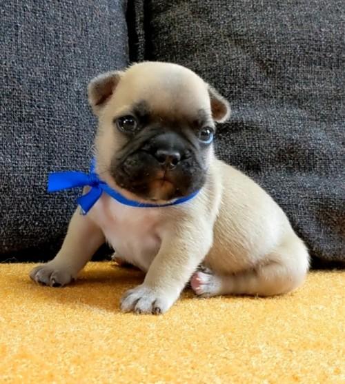 フレンチブルドッグの子犬(ID:1277711012)の1枚目の写真/更新日:2021-09-27