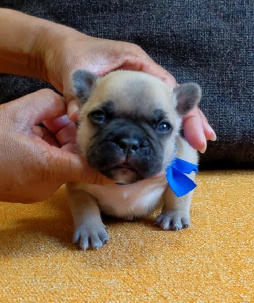 フレンチブルドッグの子犬(ID:1277711012)の4枚目の写真/更新日:2021-09-27