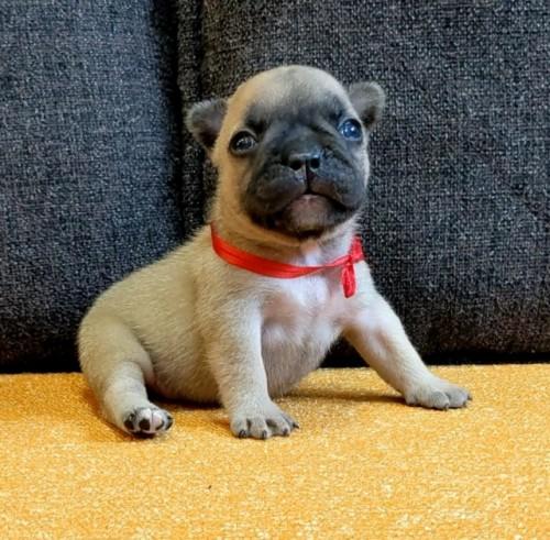 フレンチブルドッグの子犬(ID:1277711023)の4枚目の写真/更新日:2021-09-27