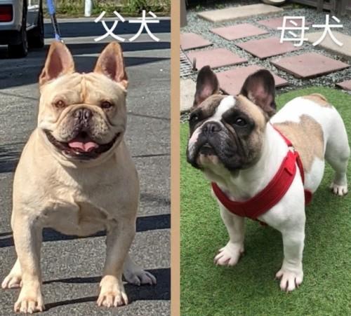 フレンチブルドッグの子犬(ID:1277711023)の5枚目の写真/更新日:2021-09-27