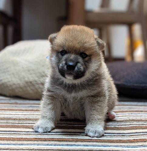 柴犬の子犬(ID:1277711029)の1枚目の写真/更新日:2021-09-17