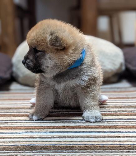 柴犬の子犬(ID:1277711029)の2枚目の写真/更新日:2021-09-17