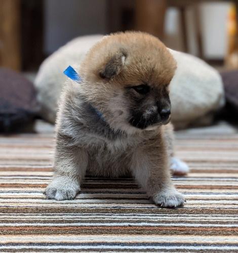 柴犬の子犬(ID:1277711029)の3枚目の写真/更新日:2021-09-17