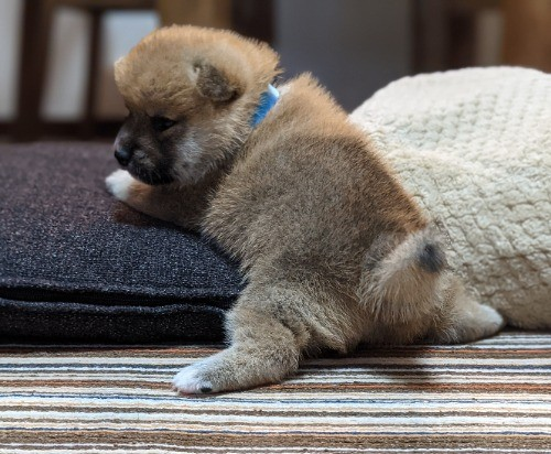柴犬の子犬(ID:1277711029)の4枚目の写真/更新日:2021-09-17