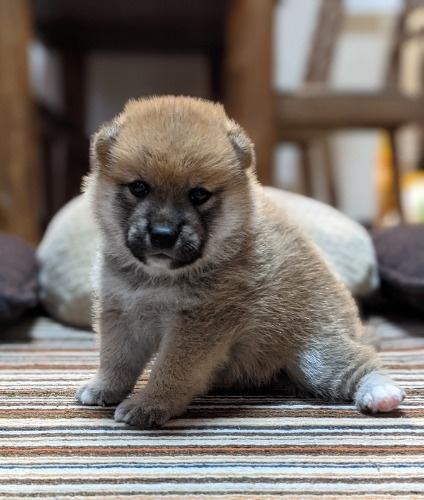 柴犬の子犬(ID:1277711029)の6枚目の写真/更新日:2021-09-17