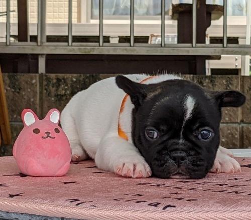 フレンチブルドッグの子犬(ID:1277711030)の4枚目の写真/更新日:2021-09-17
