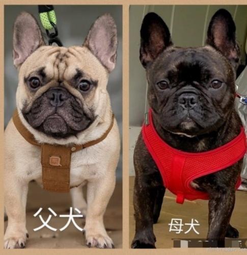 フレンチブルドッグの子犬(ID:1277711030)の6枚目の写真/更新日:2021-09-17