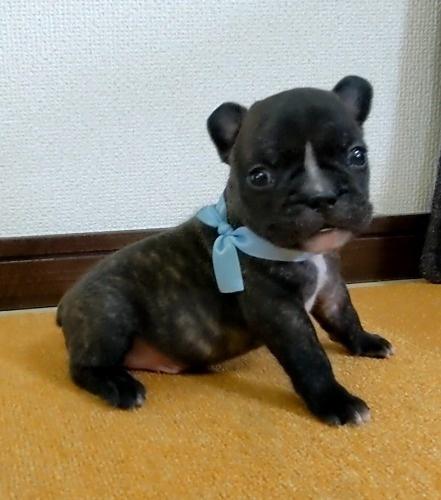 フレンチブルドッグの子犬(ID:1277711031)の4枚目の写真/更新日:2021-09-29