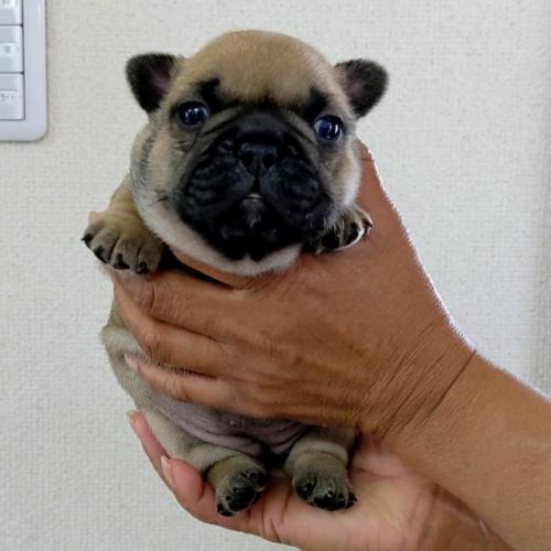 フレンチブルドッグの子犬(ID:1277711032)の4枚目の写真/更新日:2021-09-29
