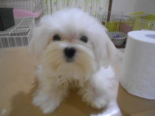 マルチーズの子犬(ID:1277911002)の1枚目の写真/更新日:2019-07-22