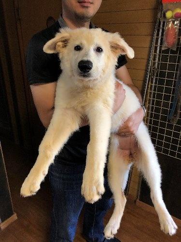 ホワイト・シェパードの子犬(ID:1278111001)の1枚目の写真/更新日:2019-08-25